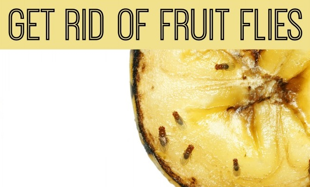 How To Get Rid Of Fruit Flies Knowhowadda